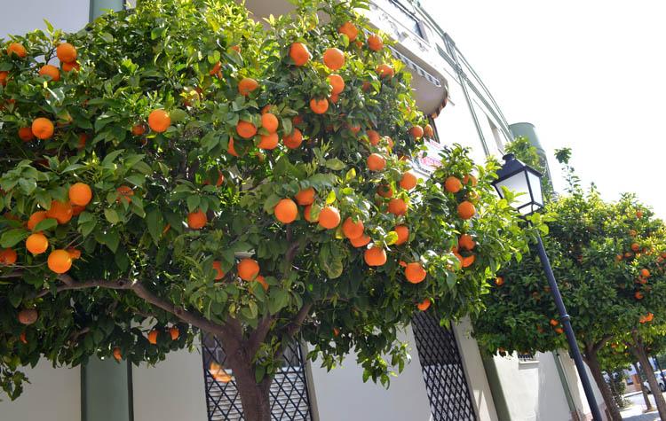 El porqué del retraso en la recogida de las naranjas