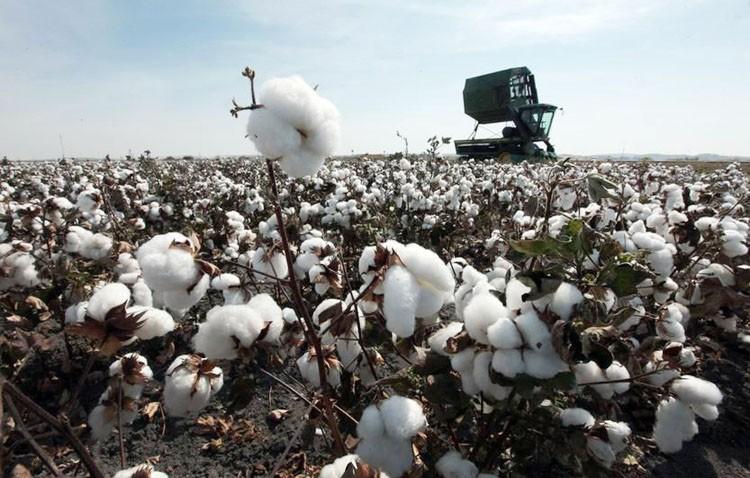 Utrera cultiva el mejor algodón de España