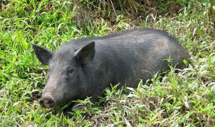 Decretan el área de emergencia en Utrera por el daño del cerdo asilvestrado al jabalí y al ecosistema