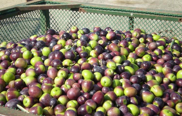La aceituna gordal de Utrera, «queen olives» en Estados Unidos