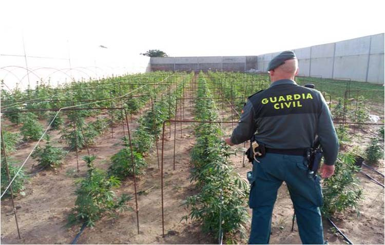 Intervienen 1.285 plantas de marihuana y tres armas robadas en dos invernaderos en Utrera y Los Palacios