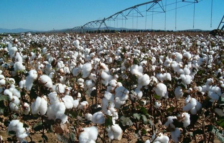 Establecido el importe del pago específico al algodón
