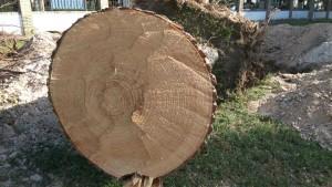 Los árboles talados estaban en buen estado y tenían casi medio siglo de vida