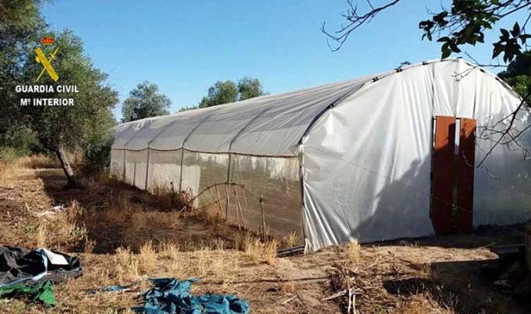 Detenido por cultivar marihuana en una parcela de Utrera, utilizando además un enganche eléctrico ilegal