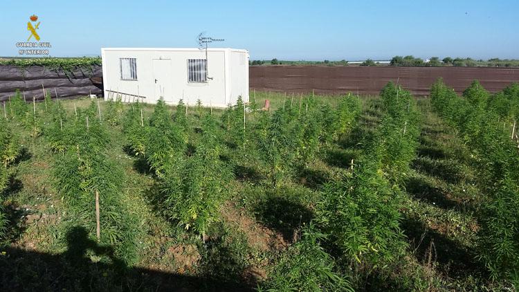 Detenido un utrerano con una plantación de marihuana en Las Perdigueras