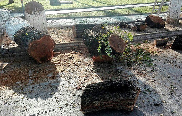 Ciudadanos denuncia la «tala indiscriminada» de árboles «con buen aspecto» en el paseo de Consolación