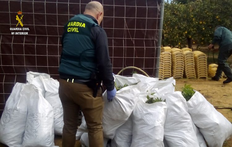 A prisión dos vecinos de Utrera tras ser sorprendidos cultivando casi 400 plantas de marihuana
