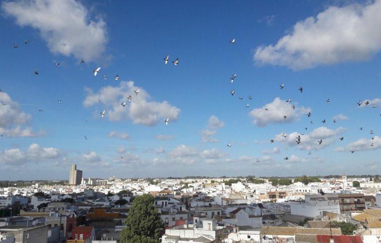 Un plan contra la sobrepoblación de palomas eliminará más de 7.000 ejemplares del centro de Utrera
