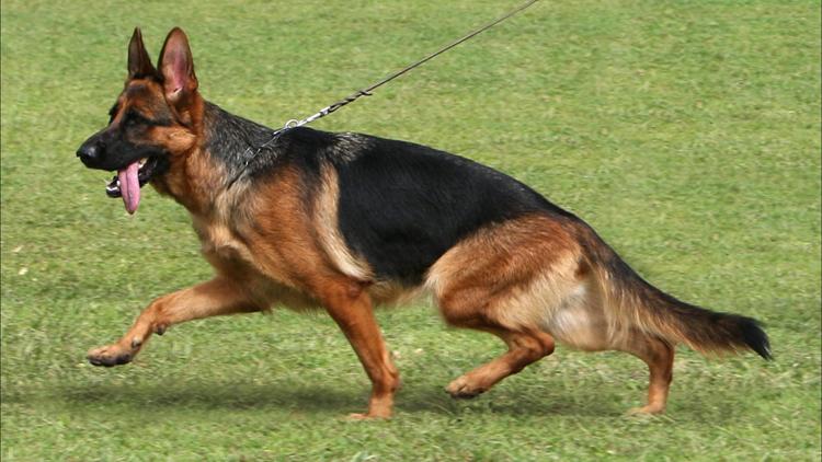 Más de 150 perros participarán en la monográfica del pastor alemán que se celebrará el fin de semana en Utrera