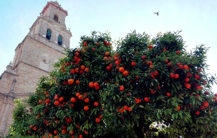 El abandono de los trabajos por la empresa recolectora deja casi la mitad de las naranjas de Utrera sin recoger