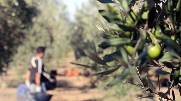 Utrera cuenta con la primera instalación para la gestión inteligente del riego de olivos