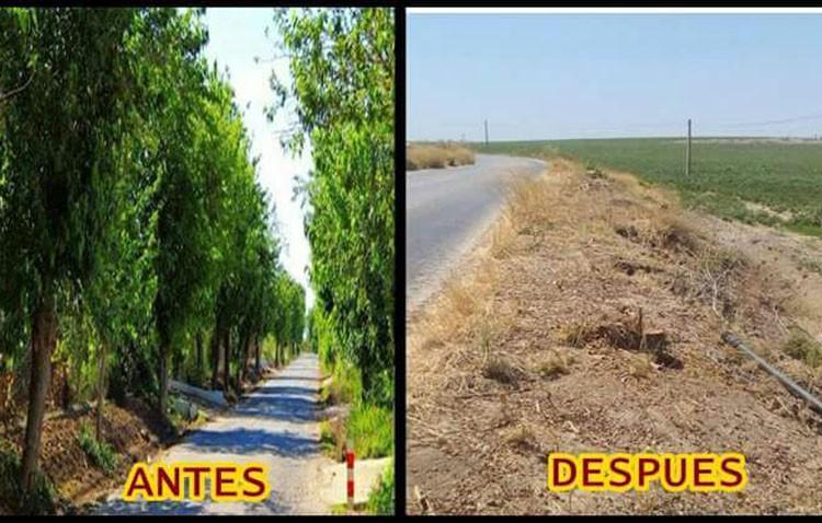 Podemos Utrera denuncia un «arboricidio» en la carretera que une Guadalema con El Palmar (Vídeo en el interior)