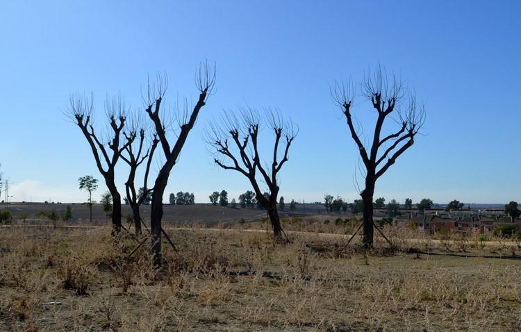 Las jacarandas que fueron eliminadas de La Corredera, casi todas muertas en Vistalegre