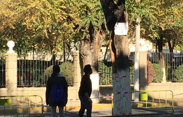 El PSOE apoya al gobierno PSOE-IU en la tala de árboles del paseo de Consolación