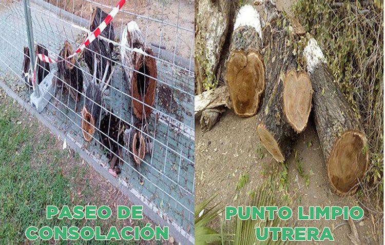 Podemos «desmonta» al gobierno local y muestra un vídeo con árboles «en buen estado» talados en el paseo de Consolación (VÍDEO)