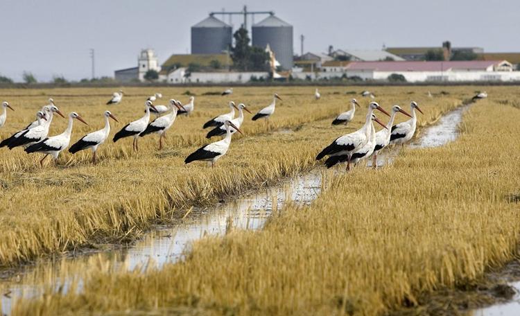 COAG exige vigilar la correcta aplicación de herbicidas en zonas arroceras como la de Pinzón