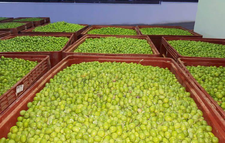 La campaña de verdeo recogerá más de 10 toneladas de aceitunas gordales en Utrera