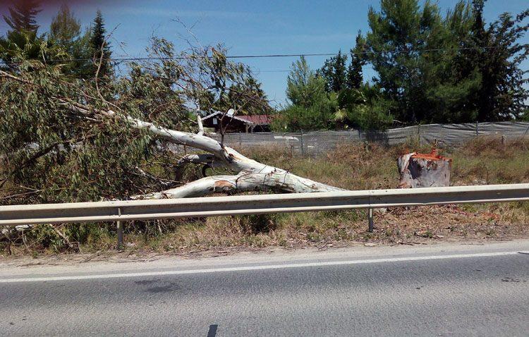 Ecologistas en acción denuncia la tala de decenas de eucaliptos en la carretera Utrera-Los Palacios