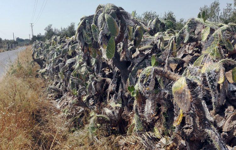 Una plaga arrasa las populares chumberas y acaba con un paisaje de cuatro siglos de historia