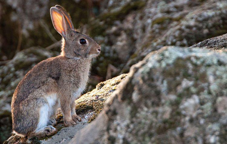 Autorizan la caza de conejos en Utrera por la superpoblación y los daños que producen