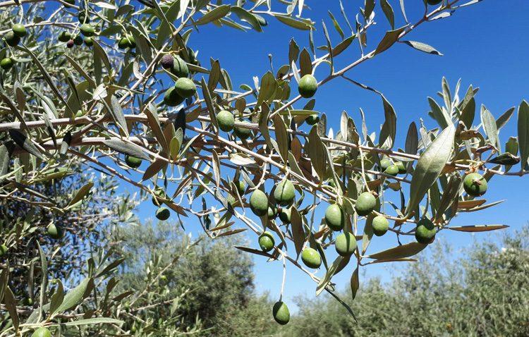 Utreace, una cooperativa olivarera utrerana que cumple 15 años