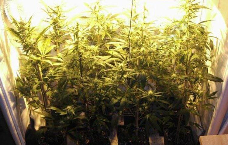 Dos detenidos en Utrera con una plantación de marihuana en su vivienda