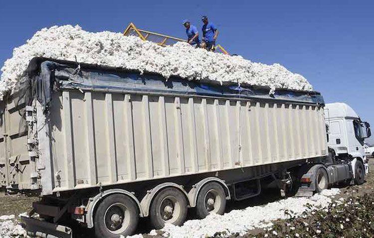 Comienza en Utrera la campaña de recogida de algodón