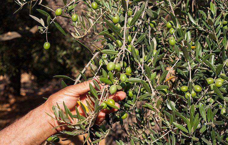 «El verdeo» y «Manzanilla Olive», de la mano en Utrera para defender el futuro de la aceituna de mesa