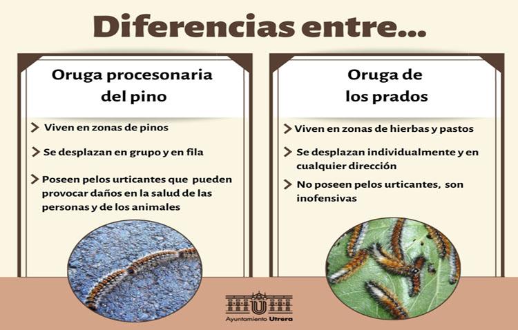El Ayuntamiento aclara la diferencia entre la oruga de los prados y la oruga procesionaria para tranquilizar a los utreranos