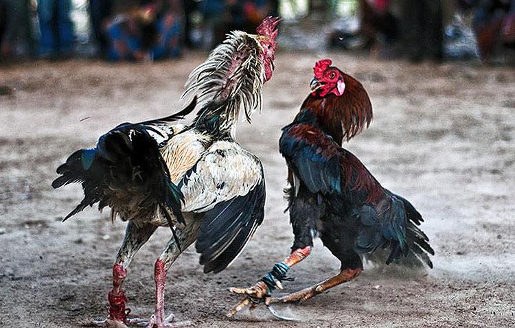 Descubren a más de 80 personas reunidas en una pelea de gallos clandestina en una zona rural de Utrera