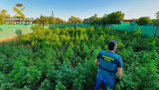 Tres detenidos en Utrera por cultivar más de un millar de plantas de marihuana