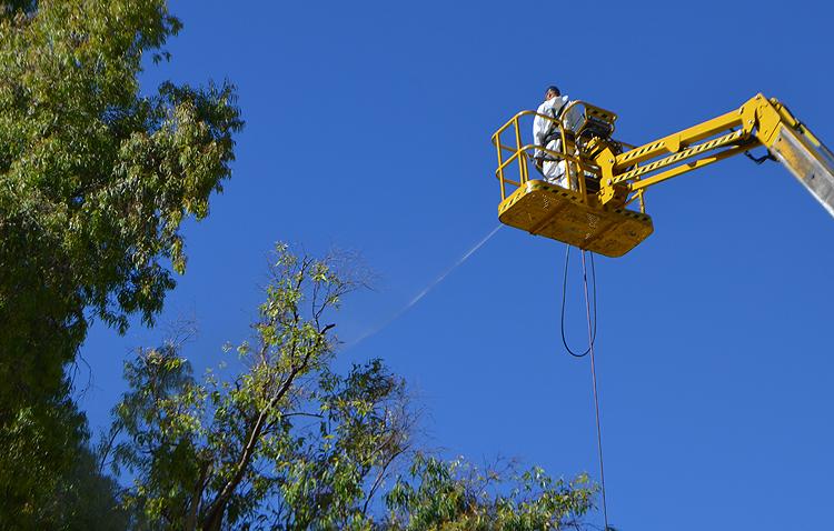 El Ayuntamiento apuesta por salvar el mayor número posible de eucaliptos en el recinto ferial de Utrera
