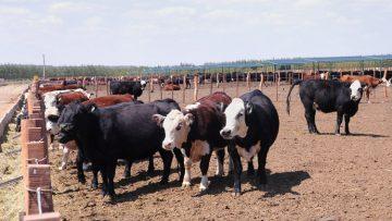 El ganado utrerano, protegido de la lengua azul gracias a la vacunación de sus ejemplares
