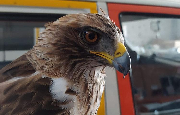 Rescatan un águila real en Utrera tras ser golpeado por un vehículo en la carretera