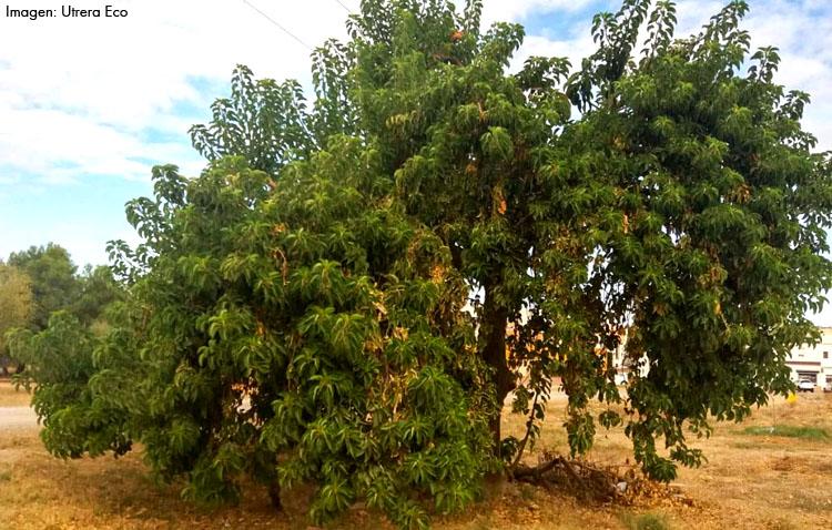 La curiosa historia del ombú, el desconocido árbol americano situado en la puerta verde de Utrera