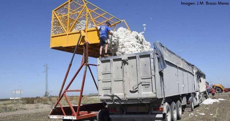La campaña de algodón en Utrera se desarrolla a buen ritmo, habiéndose recolectado ya un tercio de la cosecha