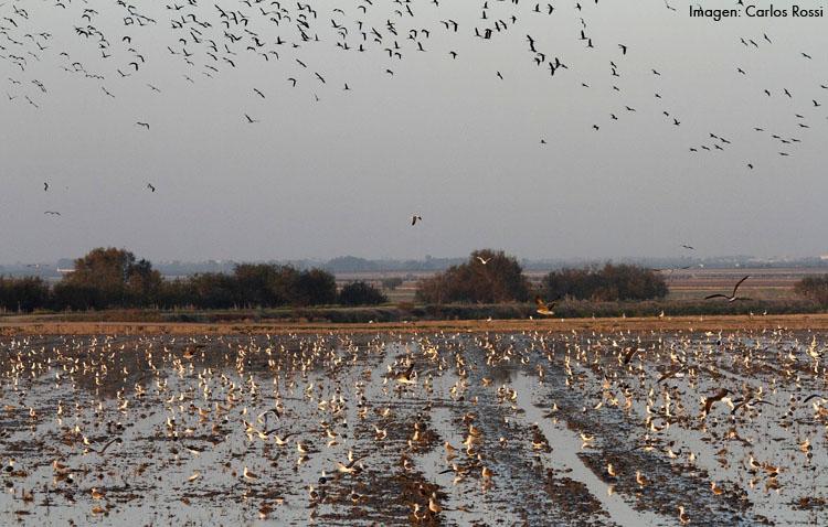 Condenan a la Junta de Andalucía por no proteger los cultivos de un agricultor de Utrera de los daños de un ave