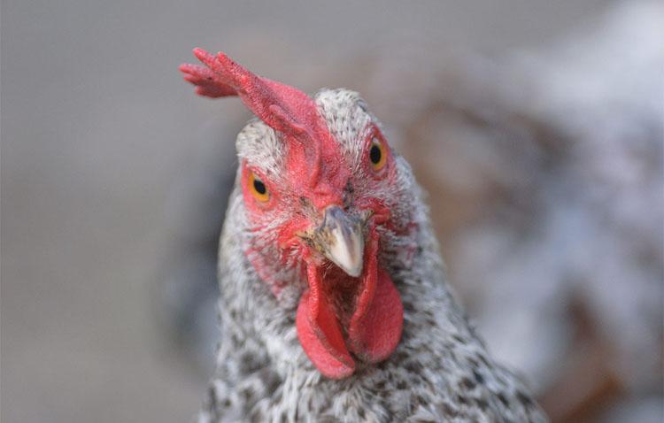 El Ayuntamiento de Utrera llama a la «tranquilidad» asegurando que no se ha detectado ningún caso de gripe aviar
