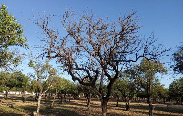 Juntos por Utrera lamenta que algunos naranjos del parque del V Centenario estén «totalmente secos»