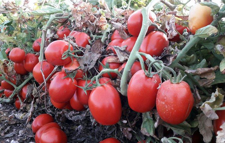 La falta de agua marca el cultivo del tomate en el término municipal de Utrera