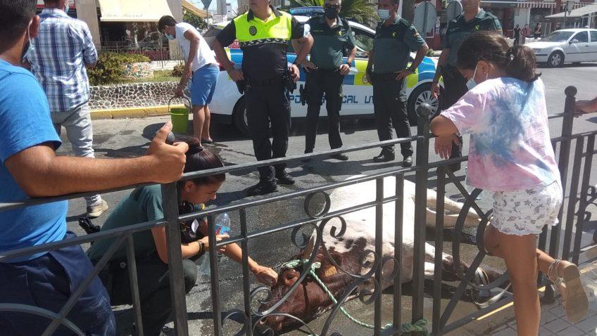 Una vaca suelta provoca el caos en Utrera hasta ser detenida en la rotonda del Champion (Vídeos en el interior)
