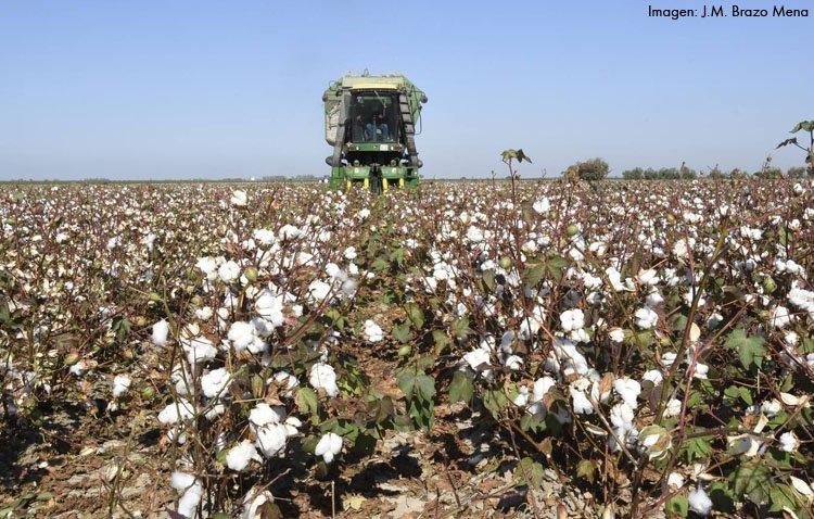 Comienza en Utrera la recolección del algodón, con una producción mermada por la falta de agua