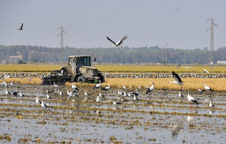 La escasez de agua marca la campaña de cultivo de arroz en Utrera
